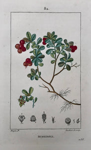 Botanicals,   Busserole, (Bearberry)  Botanical Prints by Pierre Jean Françoise Turpin.  Born in Vire, France 1775 - Died in Paris 1840.  Below is a selection of prints by Pierre Jean Françoise Turpin, one of the greatest botanical painters of his day. He studied drawing at the art school in his home town of Vire.