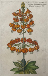 De Bry 83  Martagon  Antique Botanical Prints by De Bry  Johann Theodor De Bry (1528-1598) came from Liege, Belgium to Frankfurt on the Main and founded about 1570 an important publishing house.