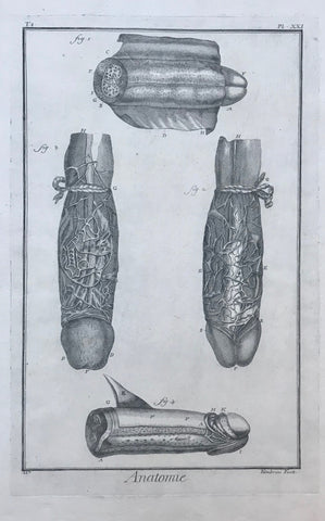 """Anatomie"", Penis  Copper engraving by Fambrini from ""Histoire Naturelle"" ca 1780.  32.5 x 20.5 cm (12.7 x 8"")"