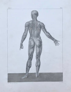 Anatomy. - No Title. muscles of the human male body. Rear view.  Volume 2, page 61 of an unknown book.  Lithograph by J. Benard after the drawing by N.H. Jacob. Ca. 1850.  Wide margins. Minimally spotty. Repaired tear in lower right margin and in left margin.