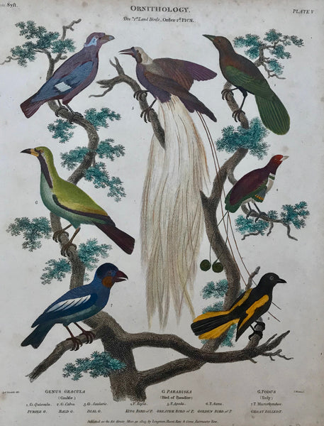The following birds are shown: Purple Grakle, Bald Grakle, Dial Grakle, King Bird of Paradise, Greater Bird of Paradise, Golden Bird of Paradise, Great Billed Tody