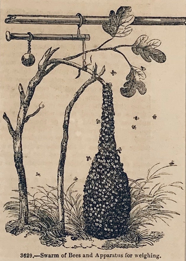 Swarm of Bees and Apparatus for Weighing.  Wood engraving ca 1880. Reverse side is printed.