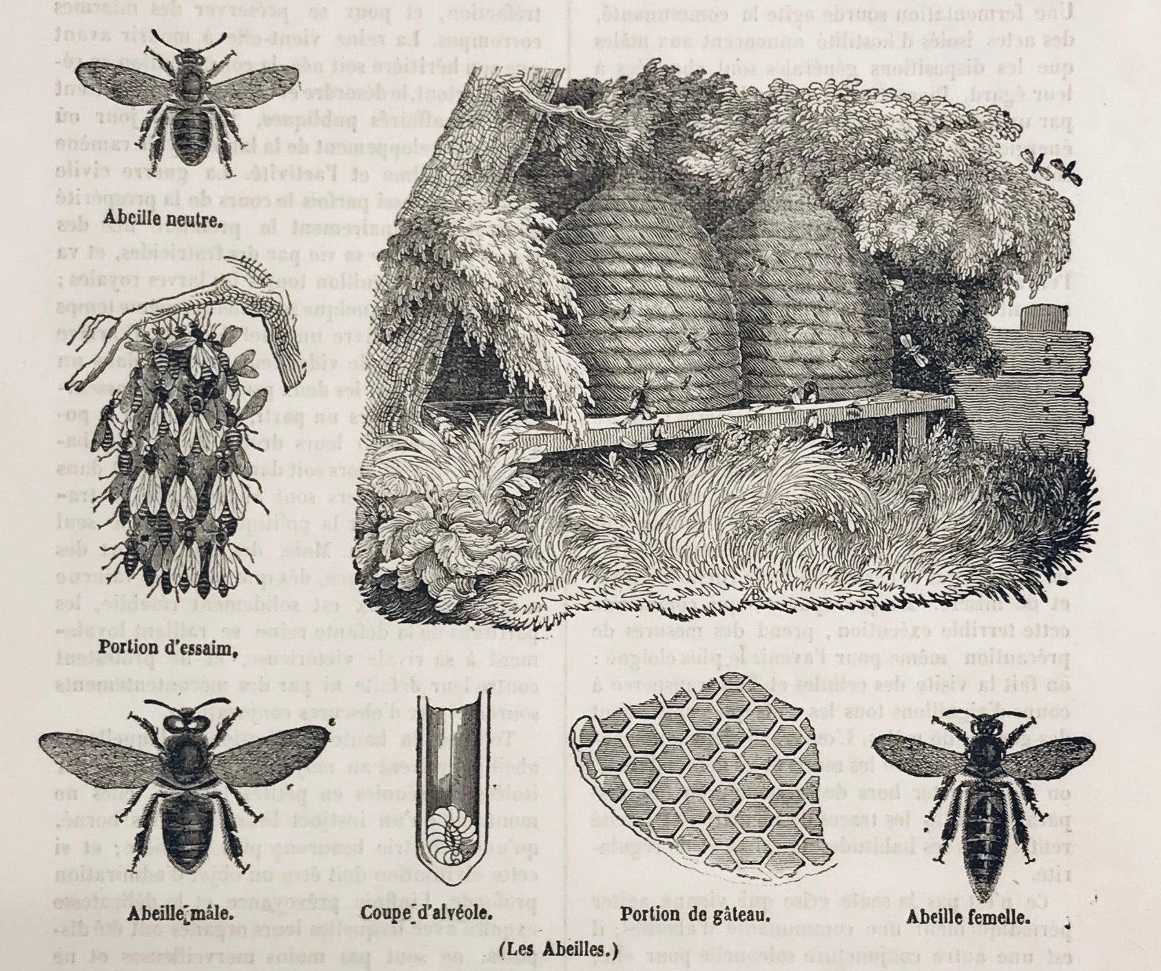 No Title  From above left: Part of comb, Male Bee, Section of Cell, Part of the swarm, Female Bee, Neuter Bee. Wood engraving 1844. Below the image, on the reverse side and on a separate page is text in French about bees.
