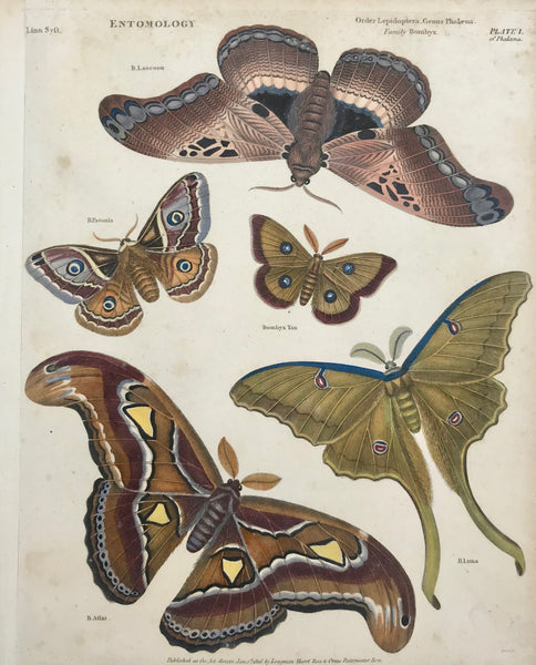 """Entomology Order Lepidoptera Genus Phalena Family Bombx""  Copper engraving by B. Luna. Dated 1806. Hand coloring. A few light scattered spots. Left margin has been widened."