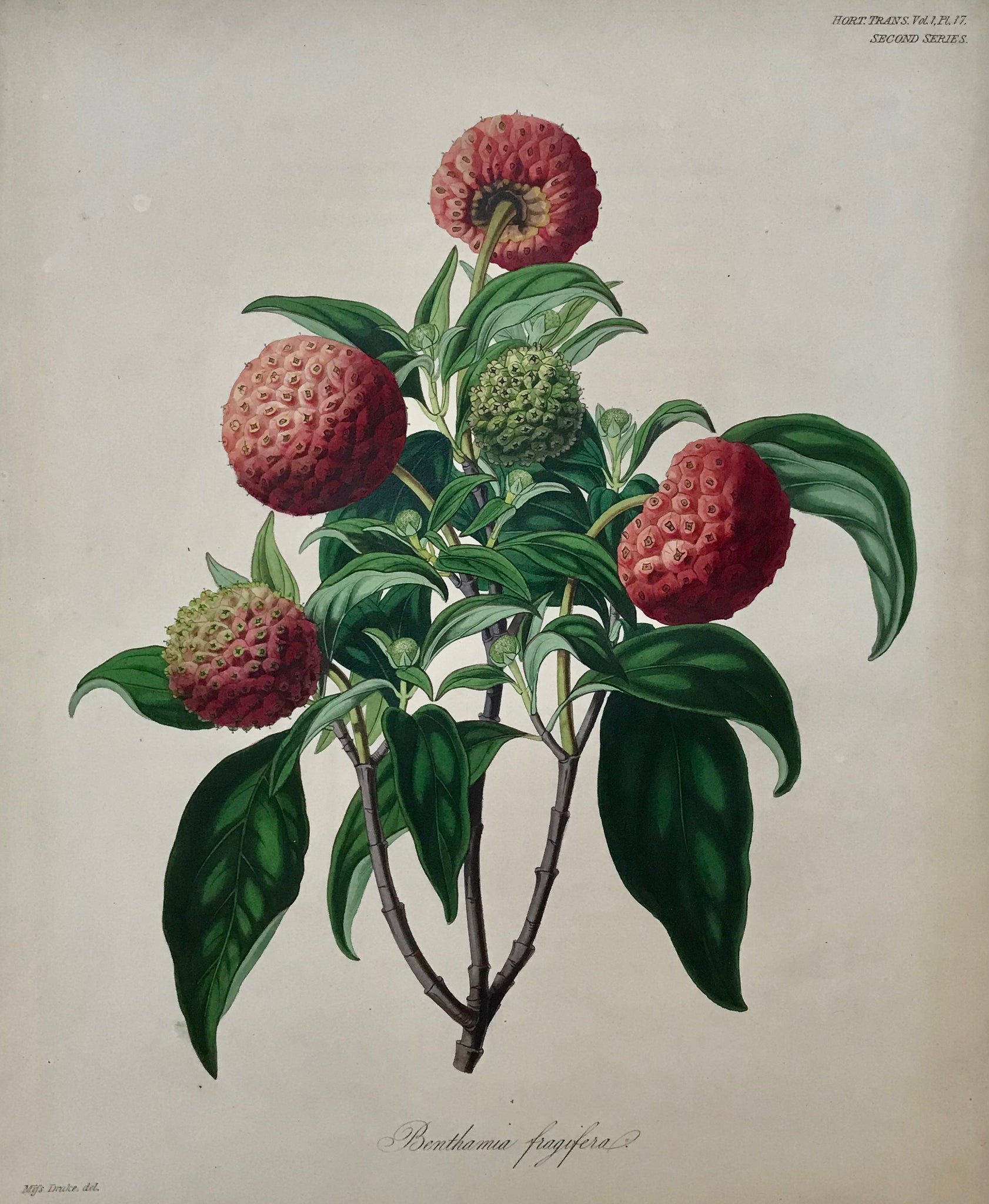 "Benthamia fragifera  Here we witness one of the first attempts using a steel plate instead of a copper plate for printing fine quality botanical prints. First used in England about 1820 it soon replaced the ""soft"" copper material."