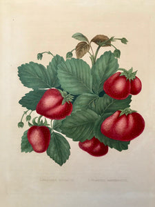 "1. Fraises Goliath. 2. Fraises Mammouth.  Print has somewhat darker toning lines where it was once framed. Repaired tear in upper margin. Repaired area in right margin where piece of margin was torn.     These exquiste, original hand-colored lithographs are from ""Album of Pomologie"", published in  Antique Fruit Prints by Alexandre Bivort and ,  Séraph Bavay.  Brussels, 1847-1850."