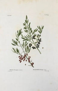 "Olea Europaea, Sylvestris Olivier d Europe, Sauvage  Light browning on margin edges. Very minor light spotting.  Page size: 53.32.5 cm ( 20.8 x 12.7 "") Height of image: 21.5 cm (8.4"")  Various Botanical Prints by Redouté  One of the great landmarks among the masterpieces of flower books was definitely set by Pierre Joseph Redouté (1759 St. Hubert - 1840 Paris)."