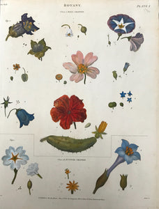"The upper part of this print is titled "" Bell Shaped"" and shows blooms such as campanula, morning glory and a cucumber blossom. The bottom is titeled ""Funnel Shaped"".     Bits and pieces of ""Botany""  The individual parts of flowers and plants strewn loosely over a page in a very decorative manner.  Copperplate etchings in very attractive recent hand colouring.  Most were drawn by Syd Edwards."