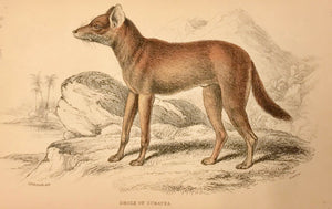 "Dhole of Sumatra  Steel engraving by Lizars in original hand coloring. From ""Naturalist's Library"", ca 1860. Light age toning."