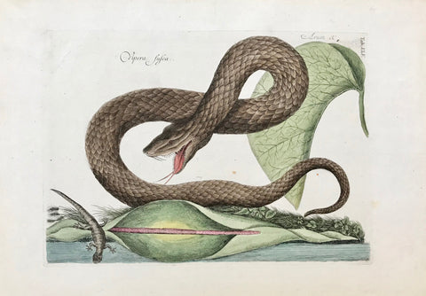 """Vipera Fusca Arum""  Light browning on margin edges.  Mark Catesby  Mark Catesby, ( 1682 - 1749 ) was born in England. His first extended journey to the Southeast of the United States of North America took place between 1712 and 1719. He was an artist with a sharp observing eye and began to depict animals, birds, reptiles, insects and plants which he later published in London as Natural History of Carolina, Florida and the Bahama Islands."