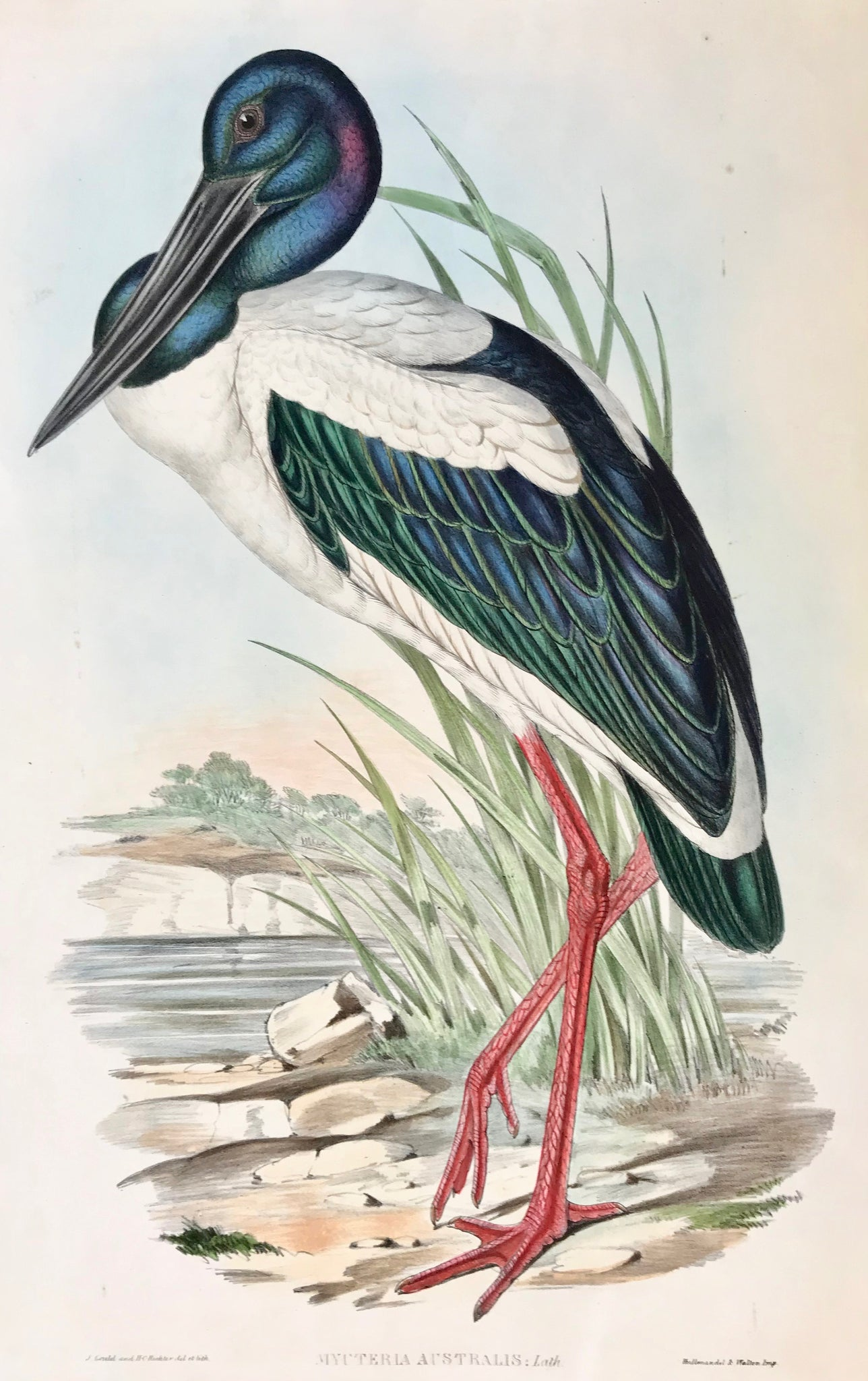 """Mycteria Australis: Lath"" Original hand-colored lithograph by John Gould and H.C: Richter, 1837-1838. From ""The Birds of Australia and Adjacent Islands"". In the lower left corner is a carefully repaired tear using paper paste."