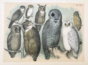 Owls: No title. Various, altogether eight owls.  Anonymous lithograph. No printing details, except plate number (CXIII) given. Mounted on cardboard. Printed in color. Ca. 1880