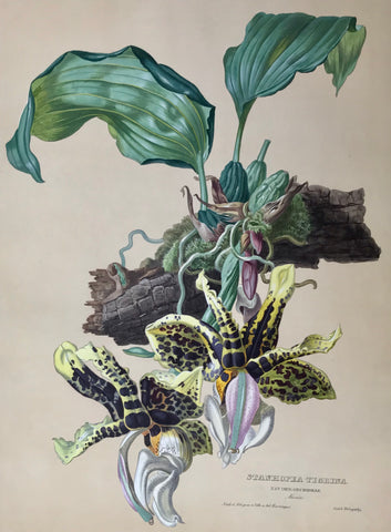 "Stanhopea Tigrina  Nat. Ord. Orchideae Mexico  Page size: 56 x 42 cm ( 22 x 16.5 "") Image size: 47.3 x 34.7 cm ( 18.6 x 13.6"")     Exquisite prints of Orchids  by Anton Hartinger  ""Paradisus Vindobonensis"" (Viennese Paradise)  Important Orchidae"