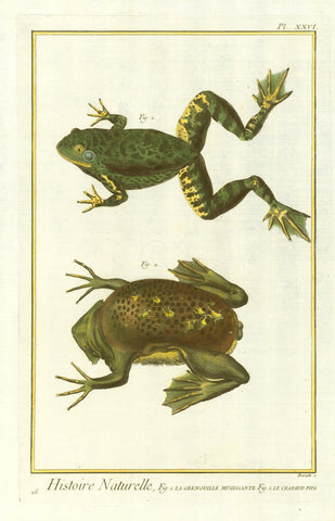 """Histoire Naturelle, Fig. 1. La Grenouille Mugissante Fig.2. Le Crapaud Pipa""  Type of print: Copper etching. Attractive hand coloring.  Artist: Barath  Reverse side: Blank.  Work: ""Histoire Naturelle""  Plate Nr. XXVI  Published: Paris. Ca. 1780"