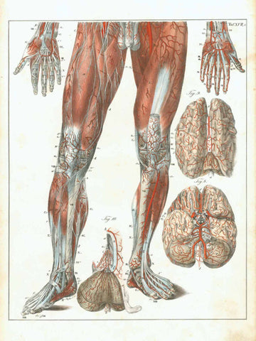 "Tafel XVII  Type of print: Lithograph  Color: Printed in color  Lithographer: August Kneisel  Published in: ""Hand-Atlas der Anatomie des MenschenÉ"" Accompanying text missing.  Authors: Carl Ernst Bock (1809-1874). August Kneisel. Carl Aulich. Carl Patschke (1813-1871)  Published: Leipzig at F. Volckmar. 1841"