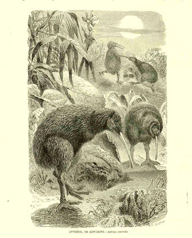 """Apteryx, or Kiwi-Kiwi Aptpteryx australis""  Wood engraving published ca 1890. On the reverse side is text about the kiwi."