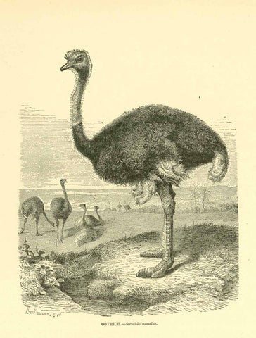 """Ostrich. - Struthio camelus""  Wood engraving ca 1890. On the reverse side is text about ostriches."
