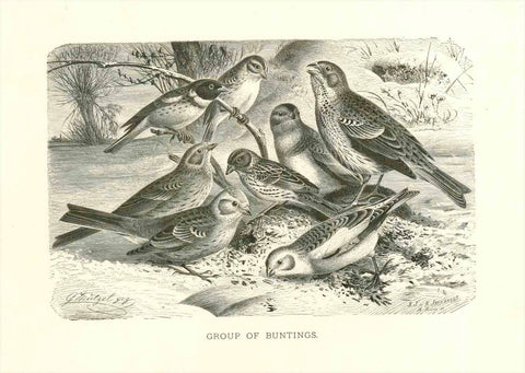 """Group of Buntings""  Wood engraving ca 1890. Charming scene of buntings."