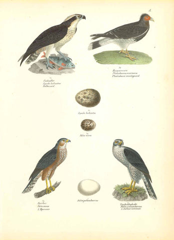 """Fischadler Aquila haliactus Balbuzard"" ""Bergcaracara Phaloboenus mantanus Phalcoboeue montagard"" ""Sperber Falco nisus L Bpervier"" ""Taubenhabicht Falco palumbarus L'Autour commun""  Lithograph by Carl Joseph Brodtman at Hans Rudolf Schinz in Zurich, Hanke ca 1854.  From"" Naturgeschichte der Voegel"", 2nd edition."