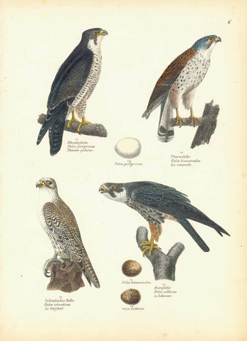 """Wanderfalke Falco pergrinus Faucon pelerin"" ""Thurmfalke Falco tinnunculus La cresserelle"" ""Islandischer Falke Falco islandus Le Gerfaut"" ""Baumfalke Falco subbuteo Le hobereau""  Lithograph by Carl Joseph Brodtman at Hans Rudolf Schinz in Zurich, Hanke ca 1854.  From ""Naturgeschichte der Voegel"", 2nd edition."