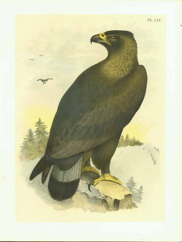 "Studer Bird PLate LIX Eagle  Publlication: ""Studer's Birds of North America""  by Jacob Henry Studer (1840-1904)  Chromolithograph, 1878  Only minimal traces of age and use.  Page: 36 x 27,5 cm (ca. 14.2 x 10.8"")     Golden Eagle: Ring-tailed Eagle"