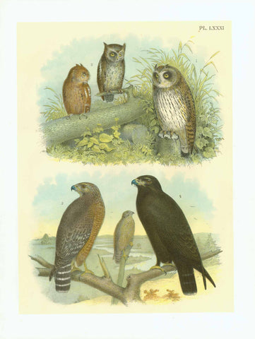 "Studer Plate XXII - Owl  Publlication: ""Studer's Birds of North America""  by Jacob Henry Studer (1840-1904)  Chromolithograph, 1878  Only minimal traces of age and use.  Page: 36 x 27,5 cm (ca. 14.2 x 10.8"")  The Barred Owl"