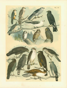 Fig. 1 Falcon  2. American Merlin  3. Isabella Sparrow Hawk  4 Mississippi Kite, Blue Kite  5. Everglade Kite: Hook Bill Kite or Black Kite  6. White-tailed Kite, Black-shouldered Kite  7. Kirtland's Owl: Saw whet. Whitefronted Owl: Acadian Owl  8. Western mottled Owl, McCall's Owl  9.Northern Mottled Owl: Kennicott's Owl  10. Harian's Buzzard or Hawk: Black Warrior  11. Cooper's Red-tailed Hawk, or Buzard  12. Harris' Buzzard, or Hawk  13. Chicken Hawk: Cooper's Hawk  14. Gruber's Buzzard