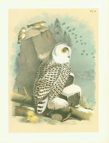 "Studer Plate 10 - Owl  Publlication: ""Studer's Birds of North America""  by Jacob Henry Studer (1840-1904)  Chromolithograph, 1878  Only minimal traces of age and use.  Page: 36 x 27,5 cm (ca. 14.2 x 10.8"")  1. The Snow Owl  2. The Snow Buntling"
