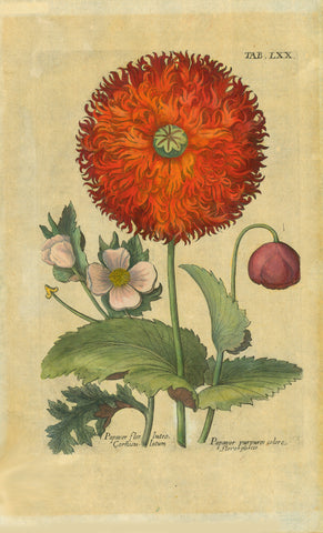 """Papaver flor luteo Corniculatum. Papaver purpeo colore flore pleno""  This print was once famed and has irregular toning/browning.  Page size: 33 x 20 cm (12.9 x 7.8"")  Antique Botanical Prints by De Bry  Johann Theodor De Bry (1528-1598) came from Liege, Belgium to Frankfurt on the Main and founded about 1570 an important publishing house. The famous Florilegium Novum, a comprehensive flower book was first published between 1612 and 1618."