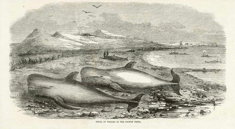"""Shoal of Whales in the Solway Firth""  Wood engraving published 1855. Reverse side is printed with unrelated text."