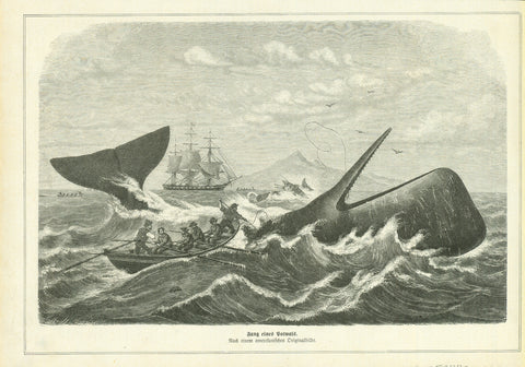"""Fang eines Potwals""  Wood engraving ca 1875. On the reverse side is a partial article about sperm whale fishing. Right margin is narrow."