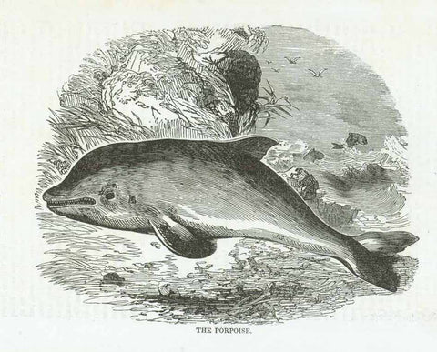 """The Porpoise""  Wood engraving published 1855. On the reverse side is partial text about the porpoise."