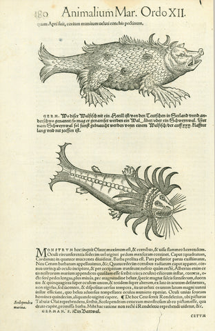 """Animalium Mar. Ordo XII."" Page 180  Above: A Herill or Schweynwal - boar like whale sighted near the Orkney Ilslands""  Below: Ein Bartwal (Eutheria). Baleen whale  Two woodcuts on one page. Published in ""Historia animalism lib.IV qui set de piscium et aquatalium nature"". By Conrad Gessner (1515-1565)  Zurich, 1558  Bizarre depictions of whales, appearing to be sea monsters."