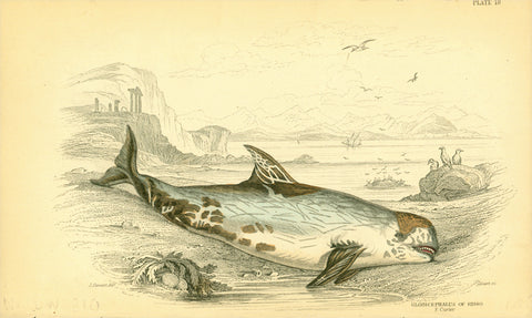 """Globusphalus of Risso""  Steel engraving in original hand coloring by Lizars after J. Stewart. From ""Naturalist´s Library"", ca 1860. Print has overall natural age toning and creasing on bottom edge."