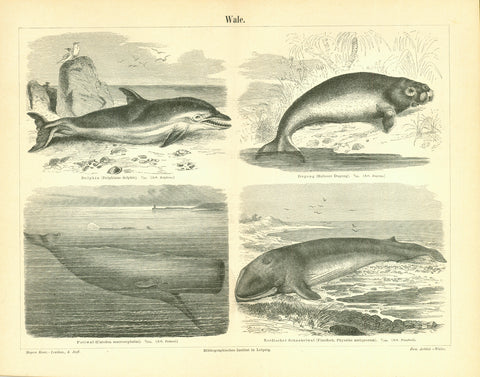 """Wale""  ""Delphin (Delphinus dolphis) Dugong (Hallicore Dugong)"" ""Pottwal (Catodon macrocephalus) Nordischer Schnabelwal (Finnfisch Pysalus antiquorum)""  Wood engravings published ca 1890."