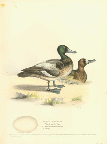 """Scaup Pochard"" ""Fuligula marila (Steph.) ""Nr. 1 Male in immature plumage"" ""2. Female""  Hand-Colored Lithographs  from Naumann:  ""Naturgeschichte Der Voegel MittelEuropas""  published in several volumes from 1822-1860.  Very fine lithographs with information below the title about the size and habits of the waterfowl shown. Notice that on some of the prints is an egg of the particular species. Many of the lithographs are by H.L. Meyer and dated after his signature in the image.  Original antique print"