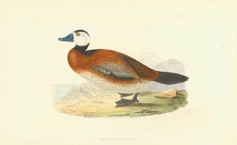 Birds, Duck, Animals, White-Headed Duck