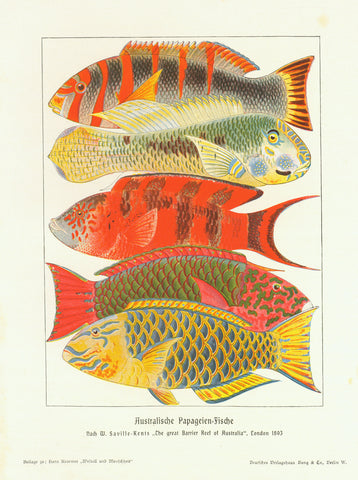 """Australische Papageien Fische""  Wood engraving printed in color, 1904. Light spotting in right margin"