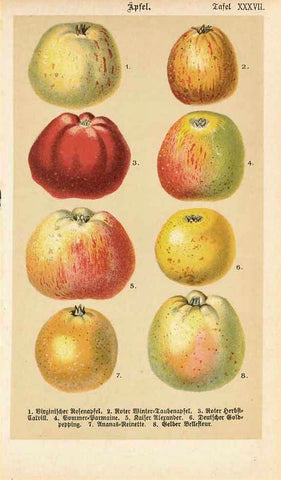 """Aepfel"" - Apples  Original antique print   Chromolithograph of various sorts of old apples with their German names. Published 1890."