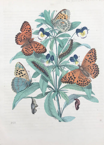 Pearl Butterflies  Wood engraving dated 1852. Original hand coloring. Extra page of text.