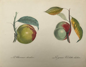 La Chevreuse tardive La grosse Violette Hative  Very fine lithograph ca 1840. Exquisite original hand coloring.
