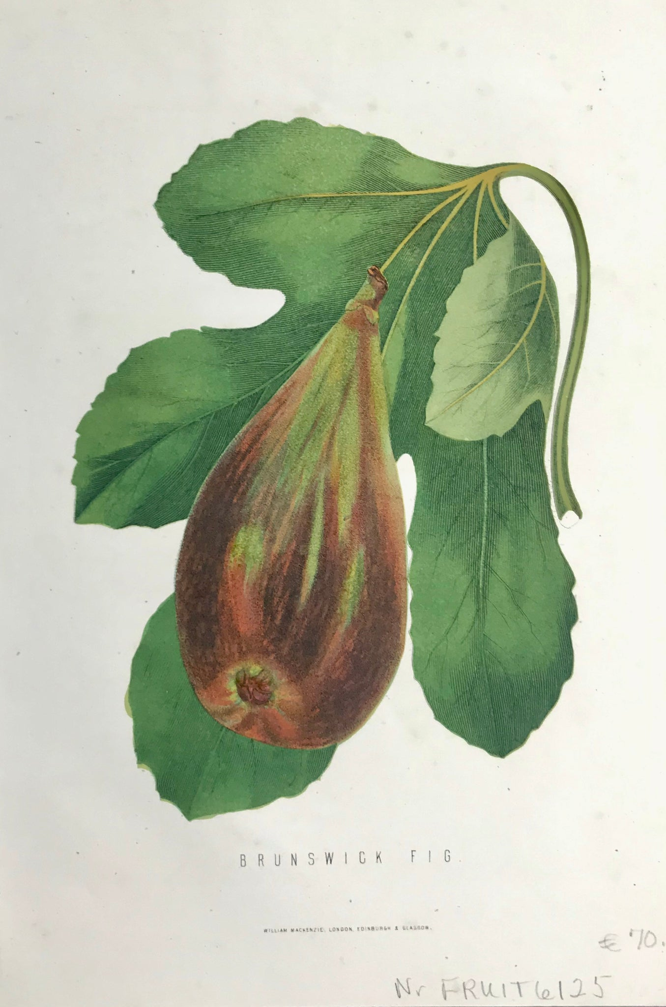 """Brunswick Fig""  Pen lithograph published in London ca 1860. Original hand coloring."