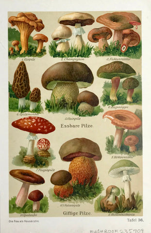 Antique Mushroom Prints Funghi - Pilze - Hongos  Chromolithograph, 1911.