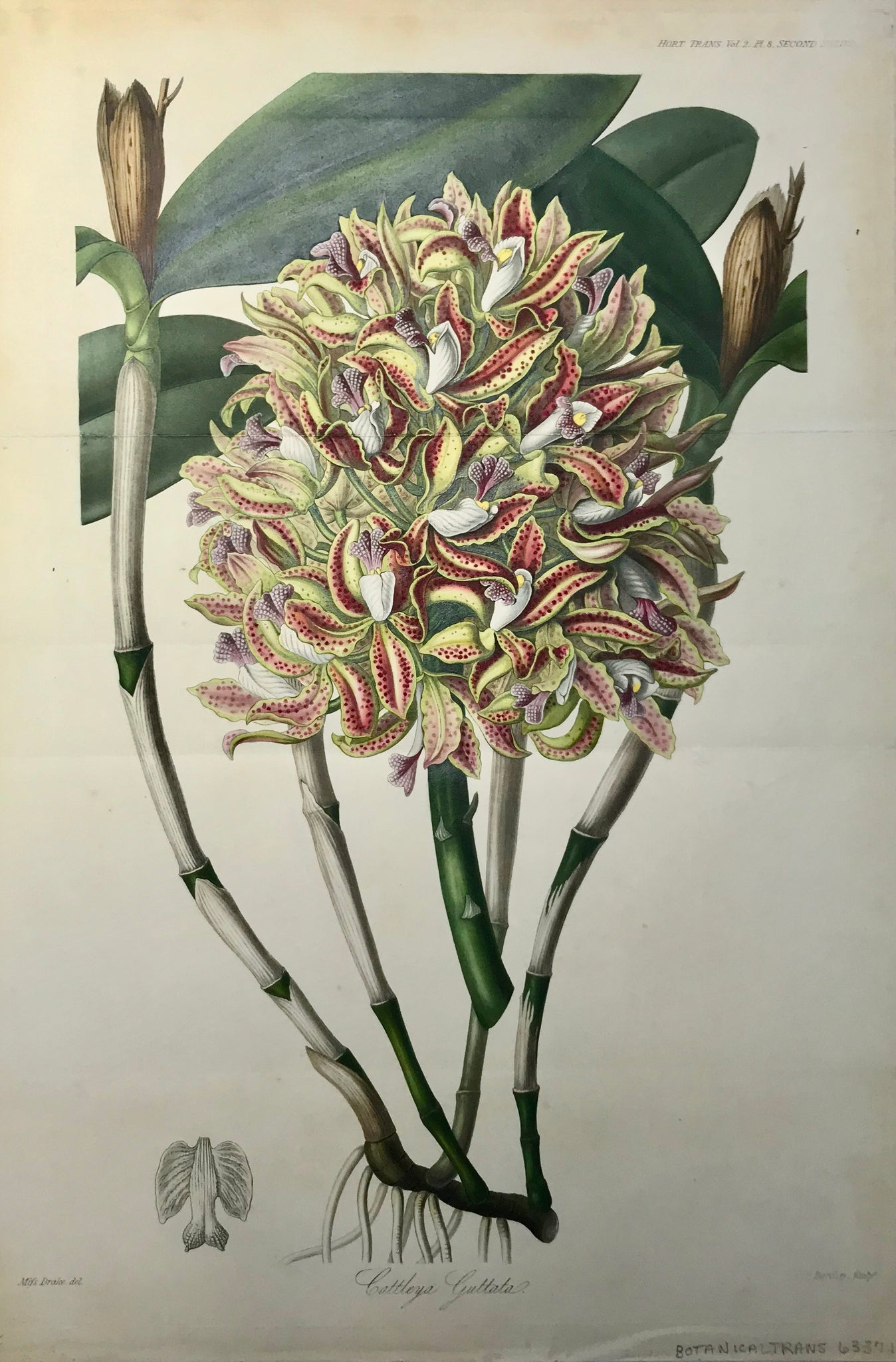 "Catteleya Guttata  Steel aquatint in original hand coloring. Engraved by Barclay after Miss Drake for the ""Transactions"" of the Royal Horticultural Society of London. Ca 1820.  Spectacular image. Almost invisible horizontal folds to fit book size.  Page size: 42 x 28.5 cm ( 16.5 x 11.2 "") Height of plant: 36.5 cm ( 14.3 """