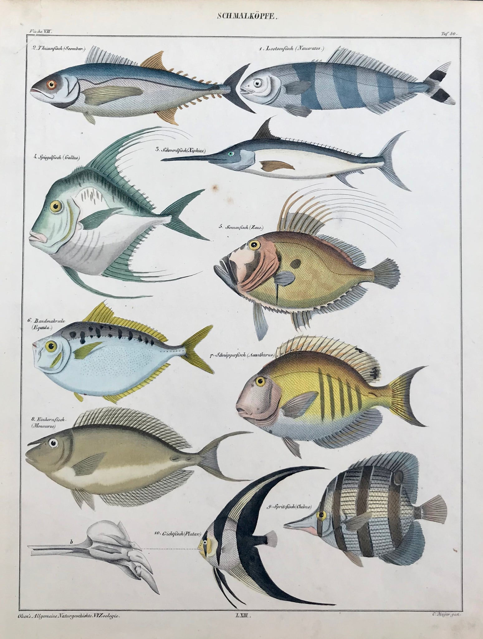 """Schmalkoepfe"" (Small Heads)  Names of fish show: Thunnfisch(Seomber), Lootsen (Naucrates), Schwordfisch ( Xiphias), Spiegelfisch ( Galbus), Sonnenfisch (zeus), Bandmakreele (Equula ), Schwaepperfisch ( Acanthurus), Einhornfisch (Monoceros), Gichtfisch (Platax), Spritfisch (Chelmo).  Steel engraving by C. Meijer from ""Oken´s Allgemeine Naturgeschichte. VI Zoologie"", ca 1850. Very fine original hand coloring. A few very light spots and small repaired tear in upper left corner.  29.4 x 22.5 cm ( 11.5 x 8.8 "")"