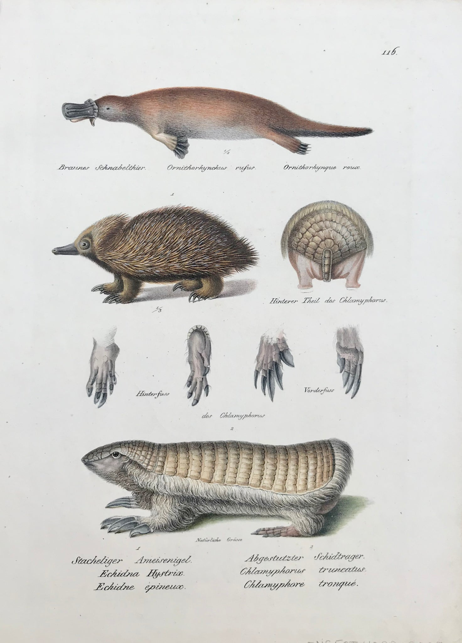 "Brauns Schnabelthier Ornithorhynchus rufus Ornithorhynque roux Stachliger Ameisenigel, Abgestutzter Schidtrager, Echidna Hystrix Chlamyphorus truncatus, Echicne epineux Chlamyphore tronque.  Very detailed lithograph ca 1850. Fine original hand coloring.  Page size: 32 x 23.5 cm ( 12.5 x 9.2 "")"