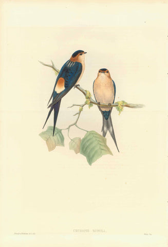 "Gould Birds, ""Cecropis Rufula""  Red-rumped swallow  India, Sri Lanka (Ceylon), Mianmar (Burma)  Lithograph with original hand coloring. By H.C. Richter  Published in ""Birds of Asia"", by John Gould (1804-1881) in 7 volumes  London, 1850-1883"
