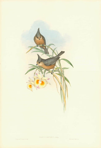 """Parus Dicrous""  Grey crested tit.  Himalaya, South-Central China  With an orchid growing in China: Dendrobium crystalline???  Lithograph with original hand coloring. By H.C. Richter  Published in ""A Century of Birds, hitherto unfired, from the Himalaya Mountains""  London, 1831 / 1832  By John Gould (1804-1881)"