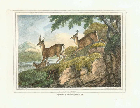 """The Roe-Buck""  Hand-colored stipple copper engraving by Samuel Howitt (1756-1822)  Published in London, dated 1799"