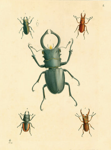 No Title. ( Beetles )  Very fine lithograph with original hand coloring.  Published ca 1850.